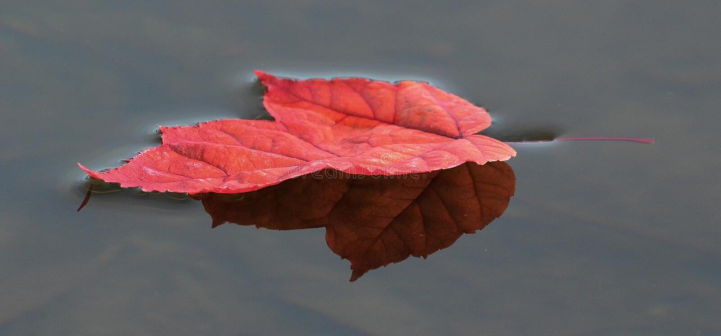 Foglia di acero rossa variopinta sull'acqua immagini stock