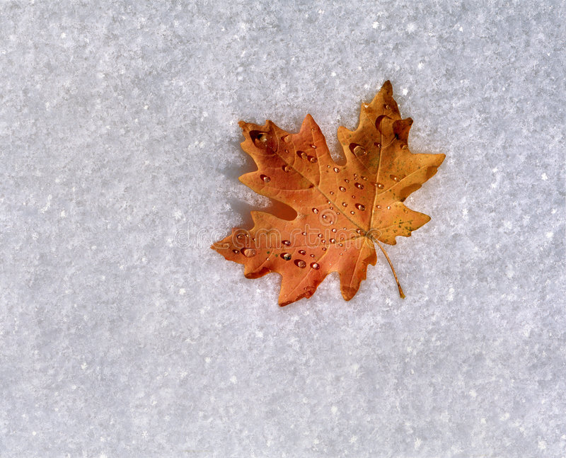 Foglia di acero su neve fresca fotografie stock libere da diritti