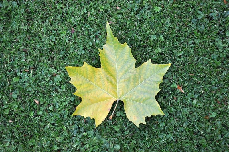 Foglia di acero su prato inglese verde fotografia stock for Foglia acero