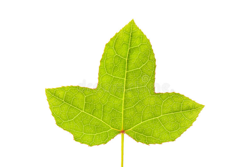 Foglia di acero verde fotografie stock libere da diritti