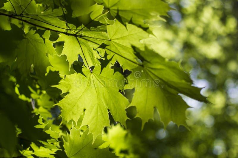 Foglia di acero verde dello sfondo naturale fotografie stock libere da diritti