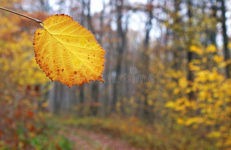 foglia di autunno colorata oro davanti al terreno boscoso immagine stock