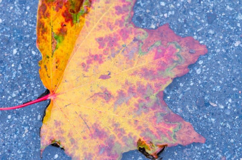 Foglia di autunno del Bordeaux Una foglia luminosa di autunno Acero canadese Foglio bagnato fotografia stock libera da diritti