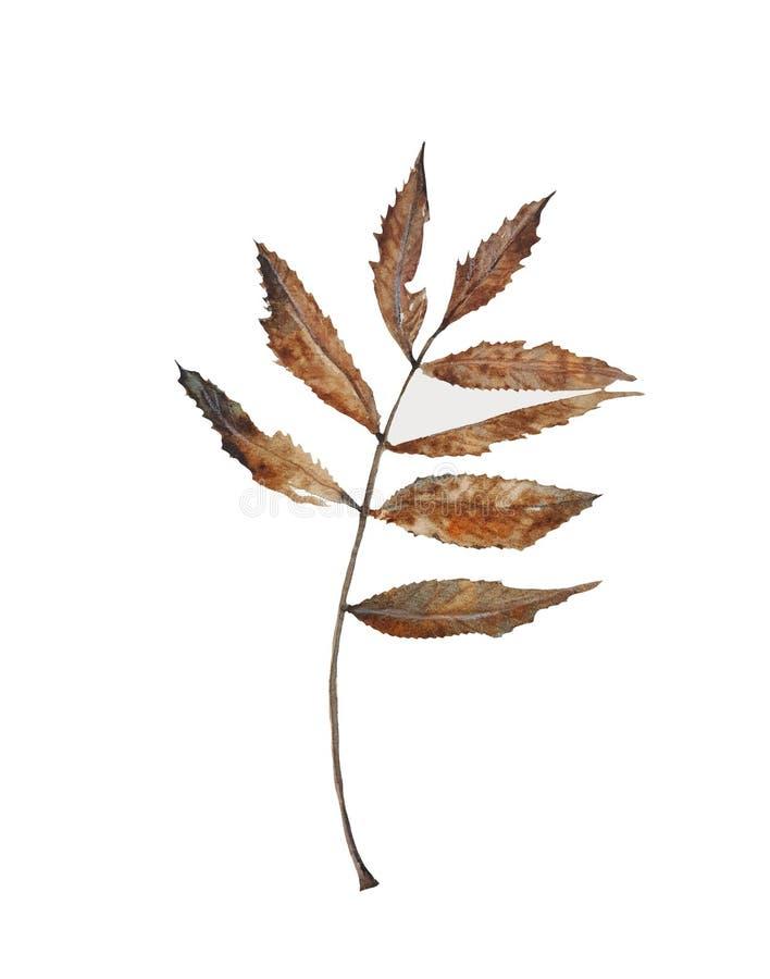 foglia di autunno della cenere di montagna, acquerello fotografie stock