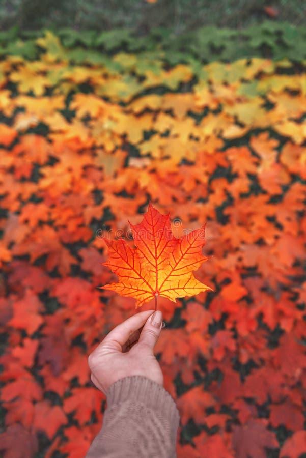 Foglia di autunno disponibila Foglia di acero isolata Pendenza della foglia immagini stock