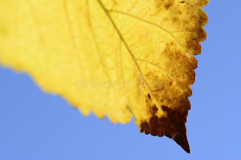 Foglia di autunno isolata sul fondo del cielo fotografia stock libera da diritti