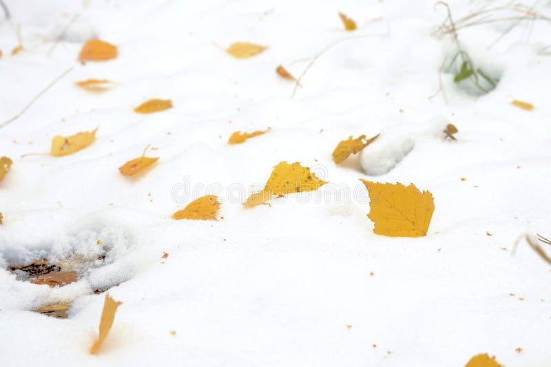 Foglia di autunno nella neve La prima neve ha coperto la foglia recente di autunno Foglia gialla in neve bianca immagine stock
