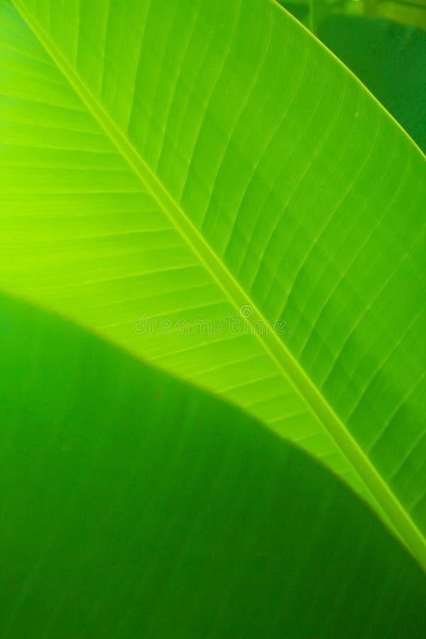Foglia di Banan fotografia stock libera da diritti