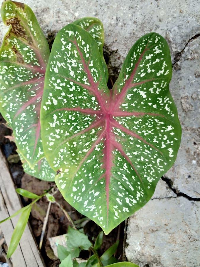 Foglia di caladium bicolor o regina delle piante frondose, fogliame bicolore fotografie stock libere da diritti