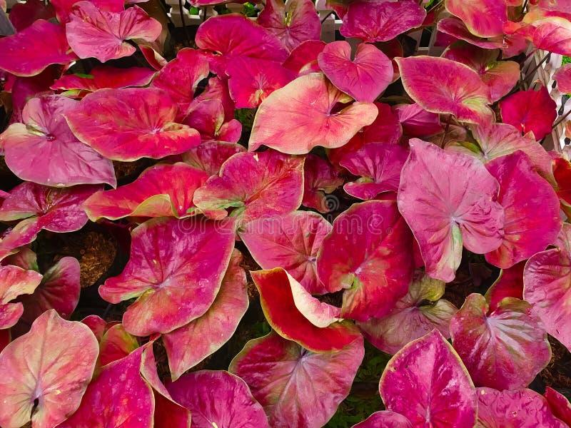 Foglia di caladium bicolor o regina delle piante frondose immagini stock