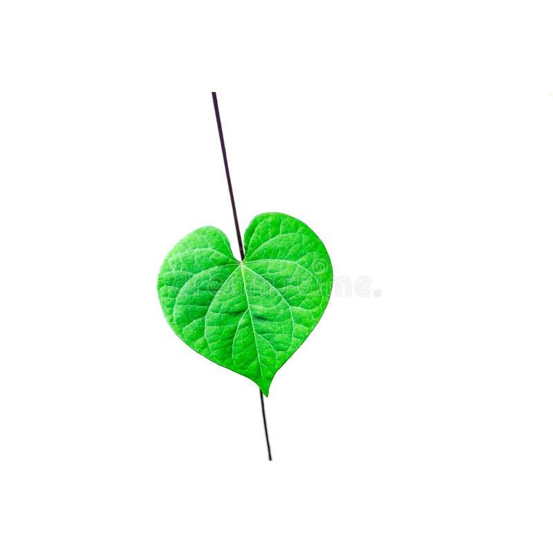 Foglia di forma cardiaca della pianta del climber su fondo bianco fotografia stock libera da diritti