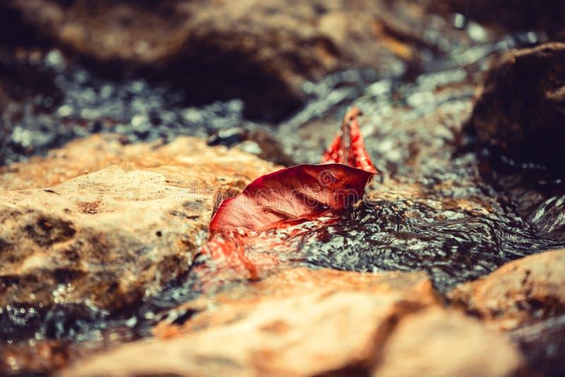 Foglia di galleggiamento rossa fotografia stock libera da diritti