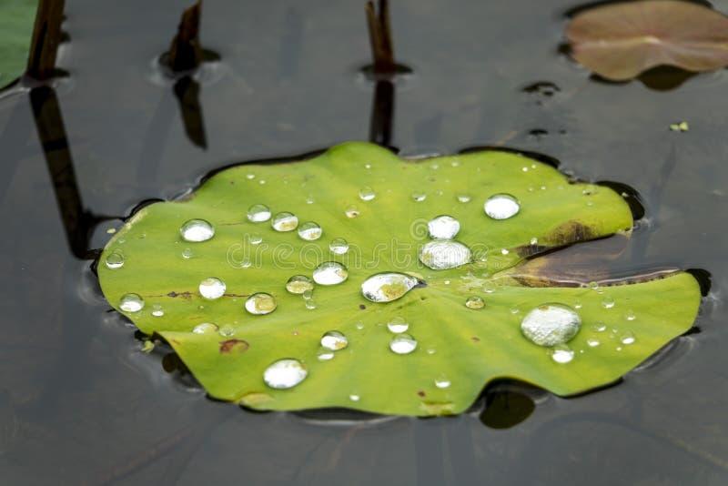 Foglia di Lotus con le gocce di acqua fotografia stock