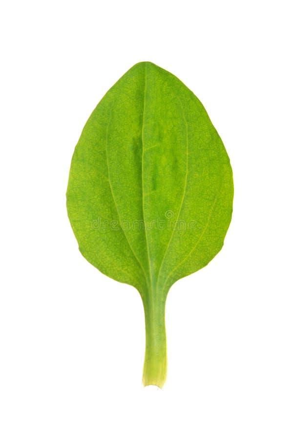 Foglia di maggior plantano isolata su bianco fotografia stock