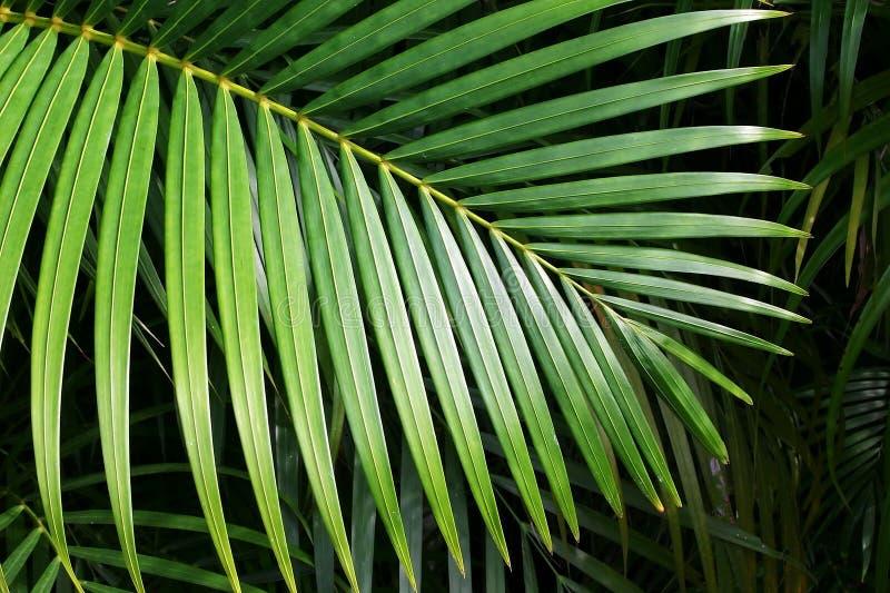 Foglia di palma fotografie stock libere da diritti