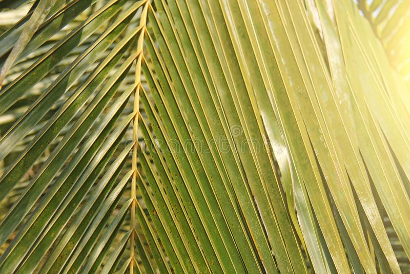 Foglia di palma e sole verdi Fondo verde delle palme esotico fotografie stock