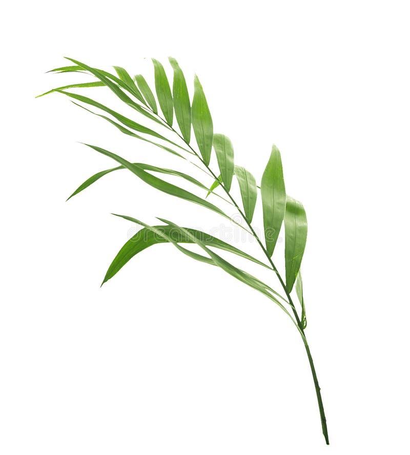 Foglia di palma, isolata su bianco immagine stock