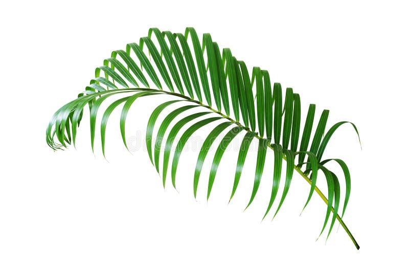 Foglia di palma isolata su priorit? bassa bianca fotografia stock