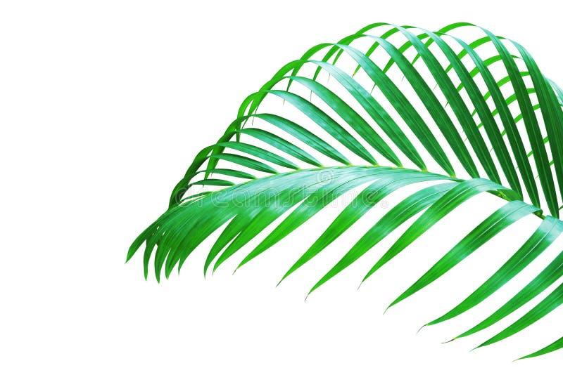 Foglia di palma tropicale isolata su fondo bianco fotografia stock libera da diritti