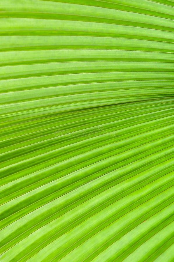 Foglia di palma verde immagine stock libera da diritti
