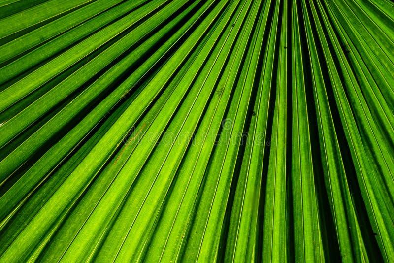 Foglia di palma verde del fan per struttura del fondo fotografie stock
