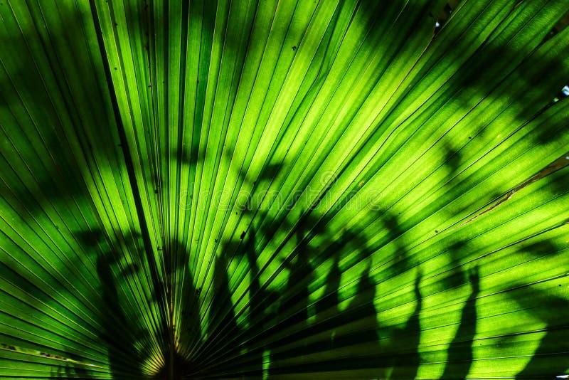Foglia di palma verde del fan per struttura del fondo immagini stock