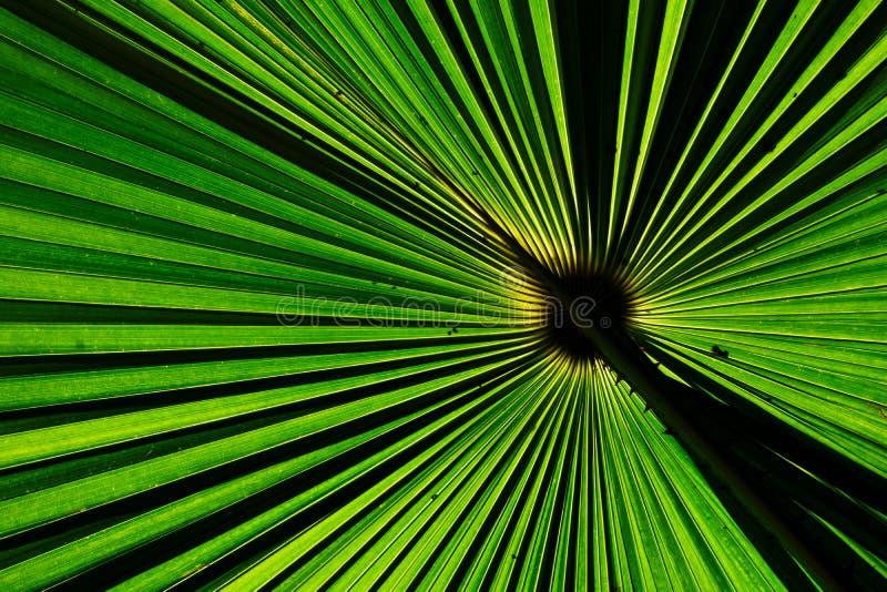 Foglia di palma verde del fan per struttura del fondo fotografia stock libera da diritti