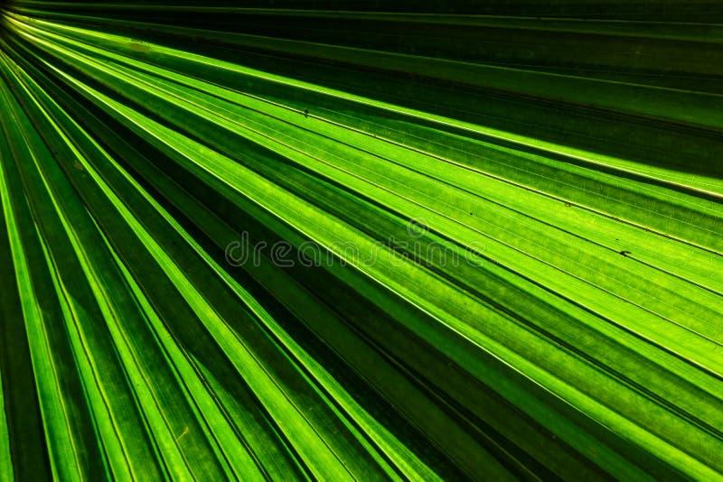 Foglia di palma verde del fan per struttura del fondo immagini stock libere da diritti