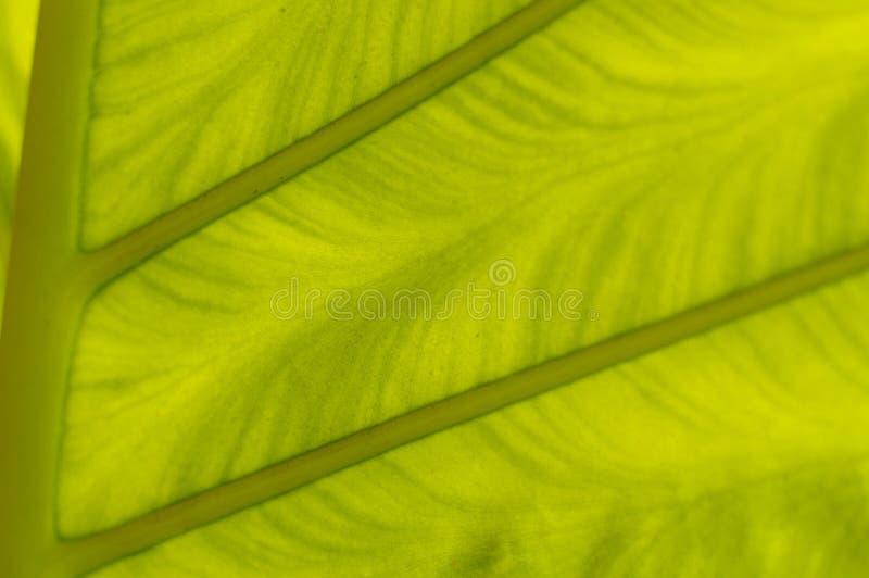 Foglia di palma verde fresca retroilluminata, fine su fotografie stock libere da diritti