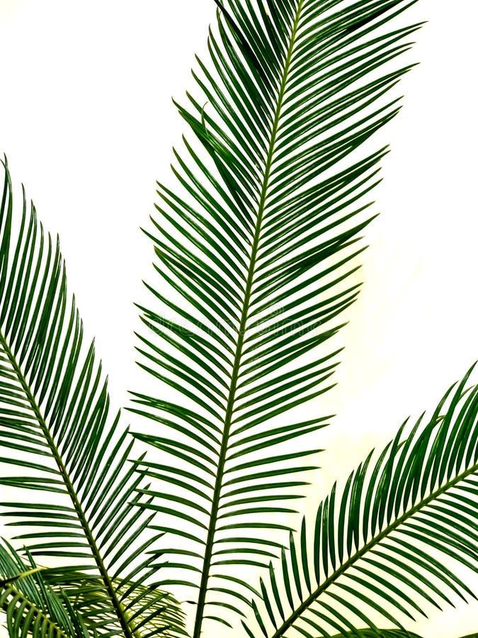 foglia di palma verde isolata immagine stock libera da diritti