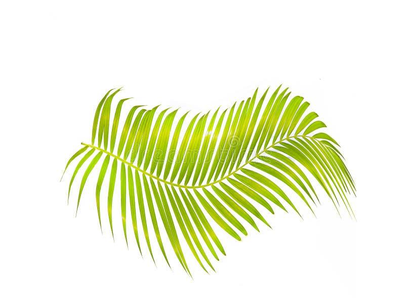 Foglia di palma verde isolata su fondo bianco con il percorso di ritaglio fotografia stock