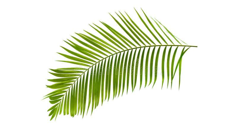 Foglia di palma verde isolata su fondo bianco con il percorso di ritaglio immagine stock