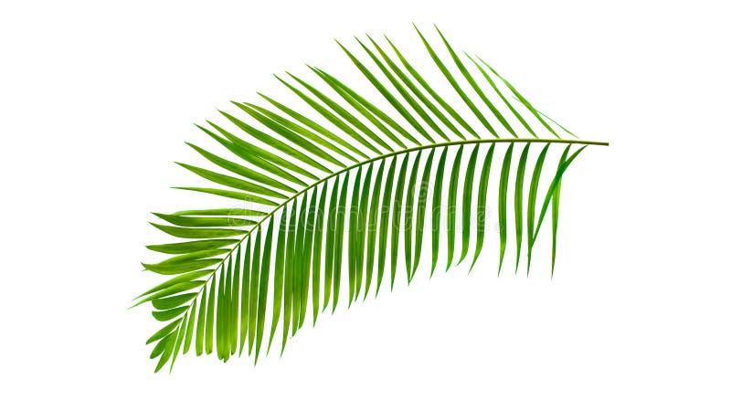 Foglia di palma verde isolata su fondo bianco con il percorso di ritaglio fotografia stock libera da diritti