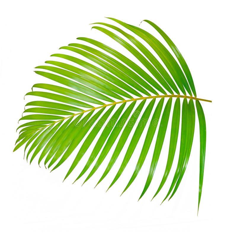 Foglia di palma verde isolata su fondo bianco con il percorso di ritaglio immagine stock libera da diritti