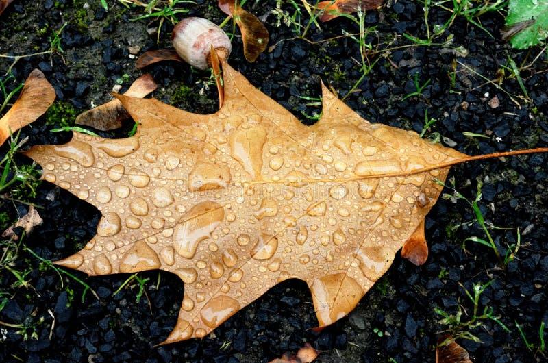 Foglia di quercia con gocce di pioggia fotografia stock