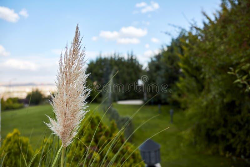 Foglia di Reed su cielo blu e sul fondo verde del giardino fotografia stock libera da diritti