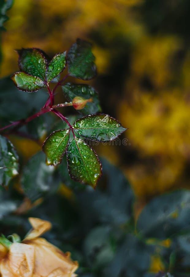 Foglia di Rosa con waterdrop fotografia stock libera da diritti