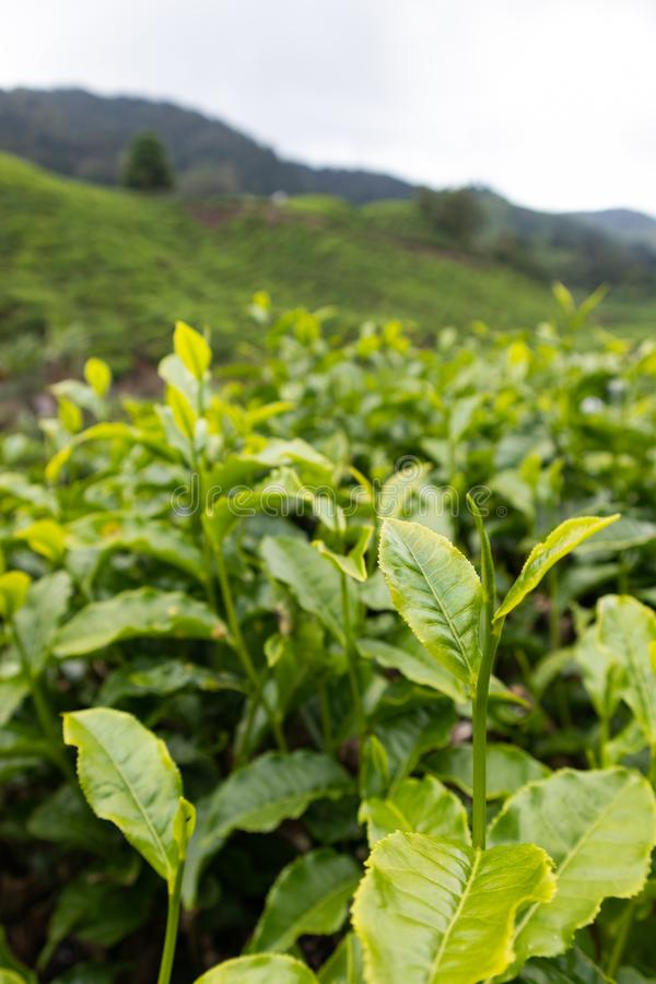 Foglia di tè alla piantagione di tè in Cameron Highland, Malesia fotografie stock libere da diritti