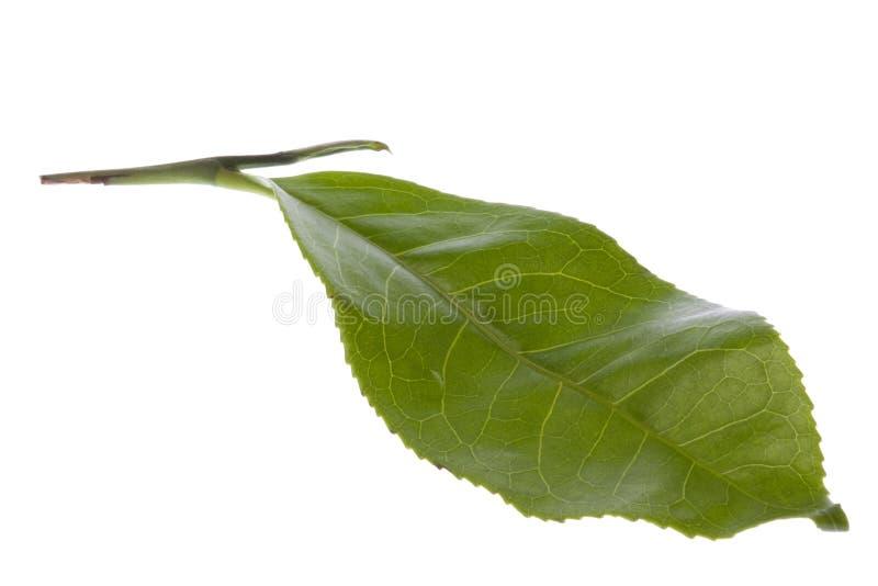 Foglia di tè fresca isolata fotografia stock