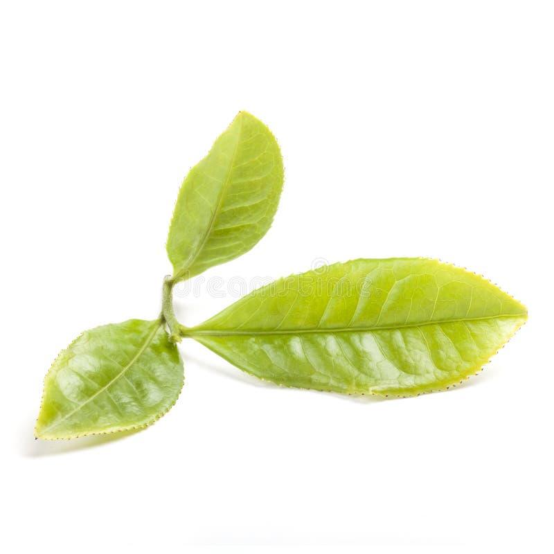 Foglia di tè verde fotografie stock