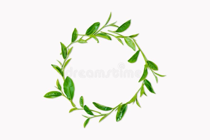 Foglia di tè verde isolata su fondo bianco immagine stock