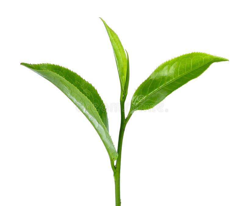 Download Foglia Di Tè Verde Isolata Sui Precedenti Bianchi Fotografia Stock - Immagine di bianco, flora: 55360656