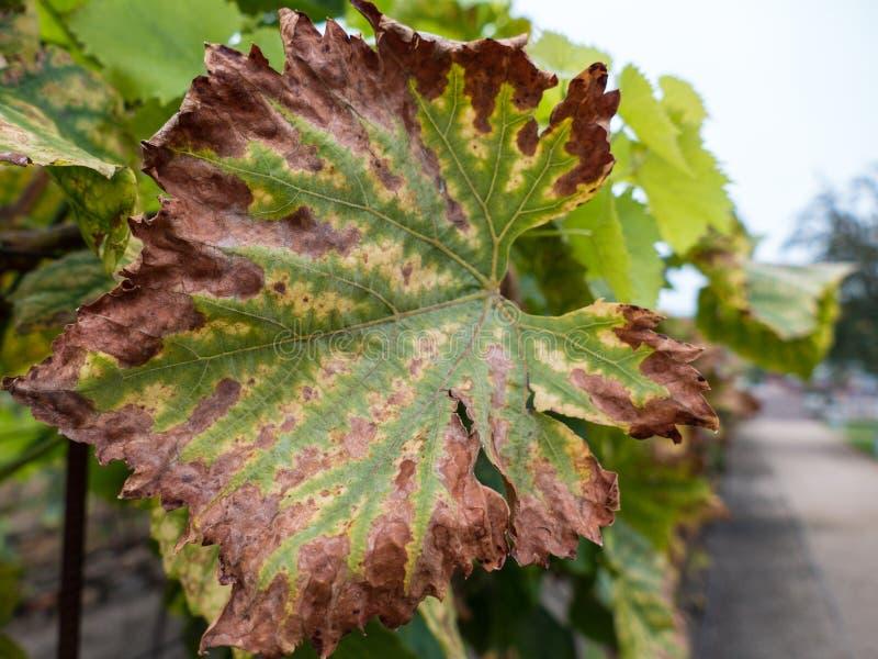 Foglia di una pianta del vino dell'uva fotografia stock libera da diritti
