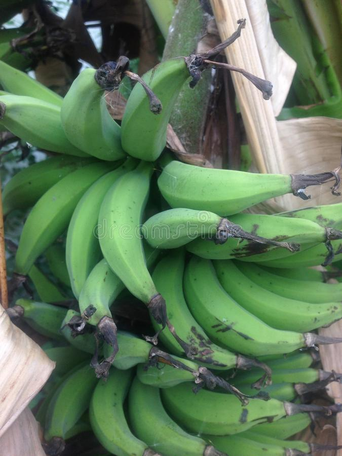Foglia di verde del banano di Lebmuernang immagini stock