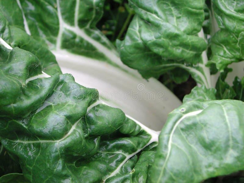 Foglia di verdure della bietola fotografie stock libere da diritti