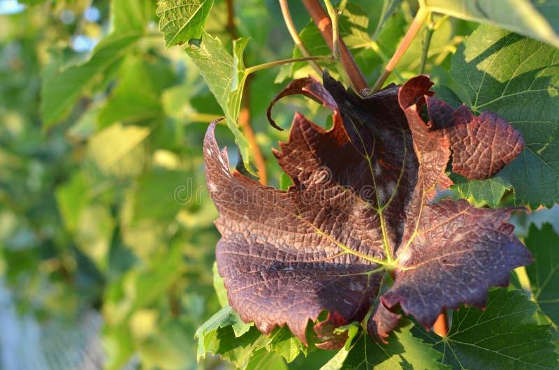 Foglia di vite rossa Un vetro di vino bianco Una bottiglia di vino Vinnic Vino maturo dell'uva Uva rosso scuro Vigna Cantina per  immagine stock libera da diritti