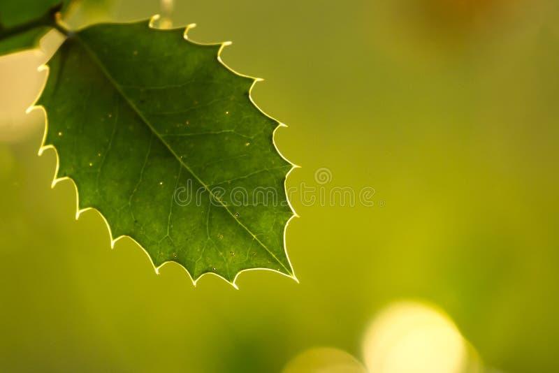 Foglia e vene dell'agrifoglio alla luce solare di autunno immagini stock libere da diritti