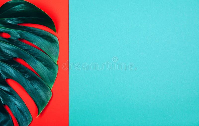 Foglia esotica tropicale di monstera di verde della pianta su fondo rosso e blu-verde di corallo fotografia stock