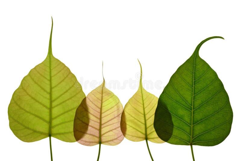 Foglia a forma di del cuore nuova dell'albero peepal immagini stock