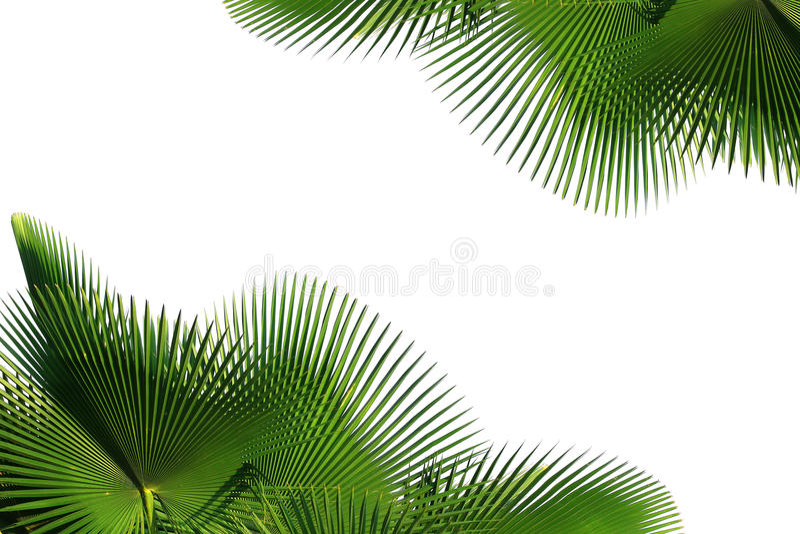 Foglia della palma fotografia stock libera da diritti